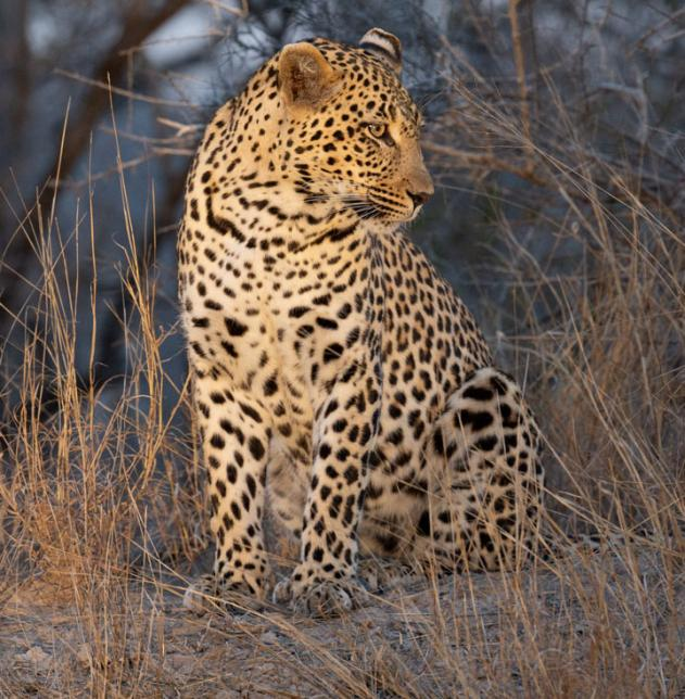 Graham's leopard photo